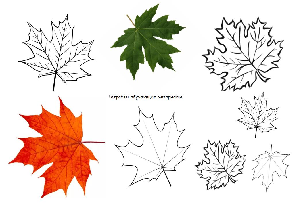 рисунок кленового листа шаблон 1